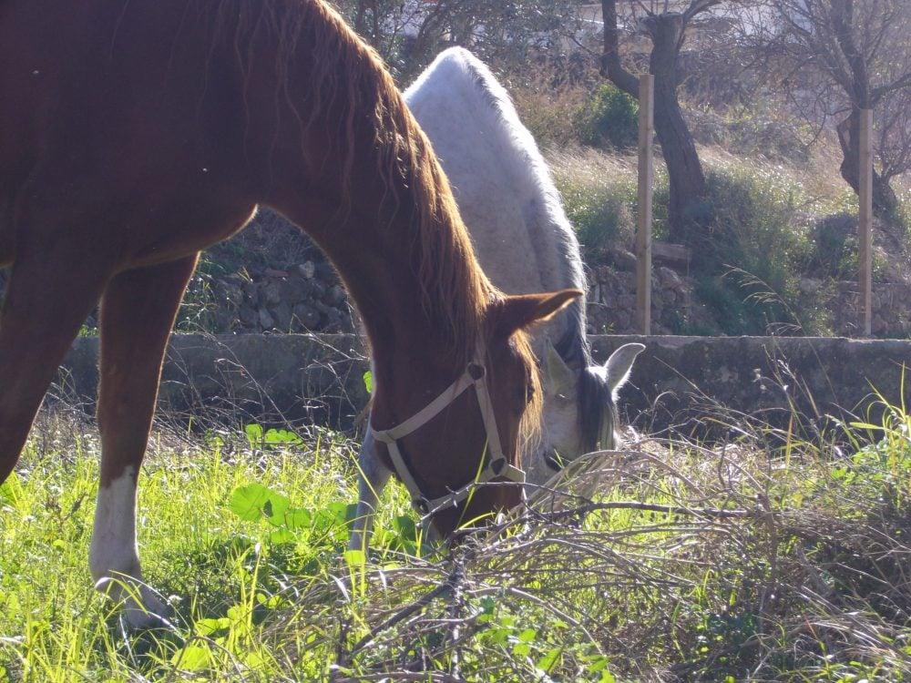 Calos y caballos