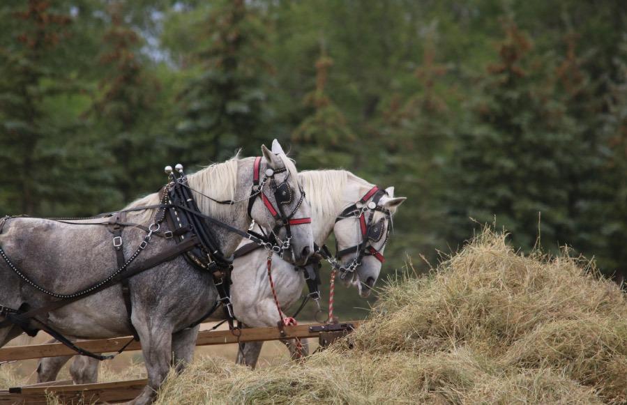 caballo percheron