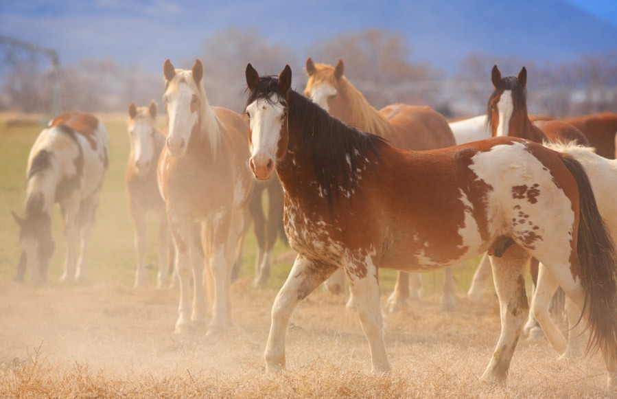 caballos pinto